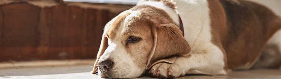 Senior dog laying in sun