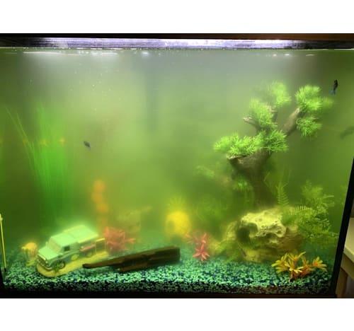 Algae bloom in fish tank