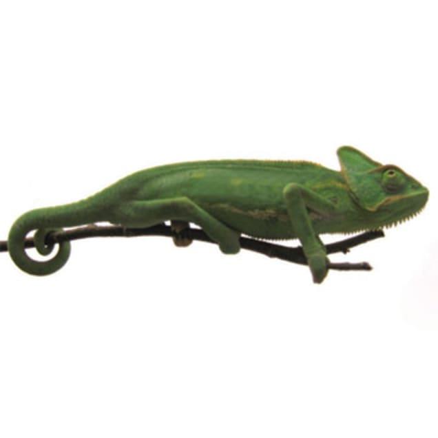 Veiled Chameleon (Chamaeleo calyptratus) - Carousel image #1