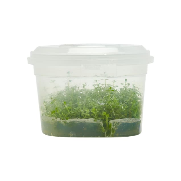 Hemianthus allitrichoides - Tissue Culture Plant - Carousel image #1