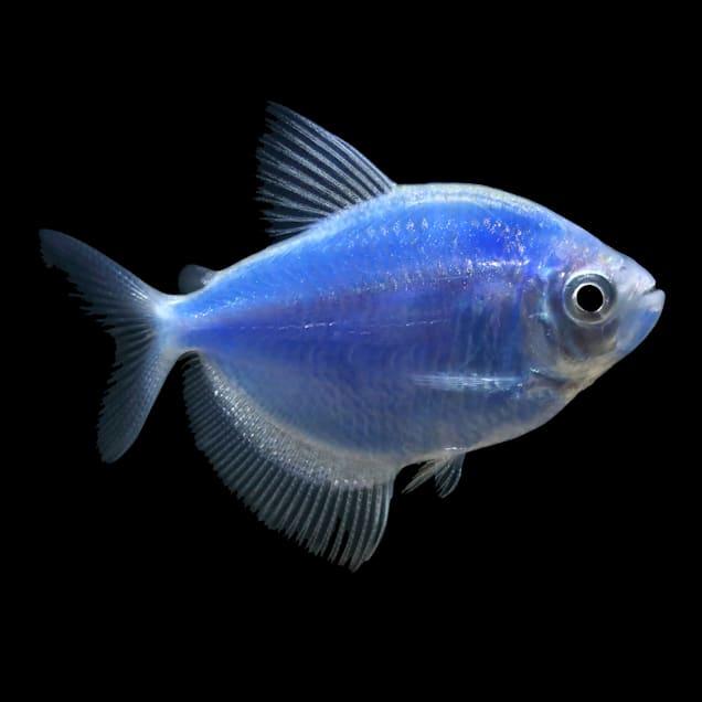 GloFish Cosmic Blue Tetra (Gymnocorymbus sp.) - Carousel image #1