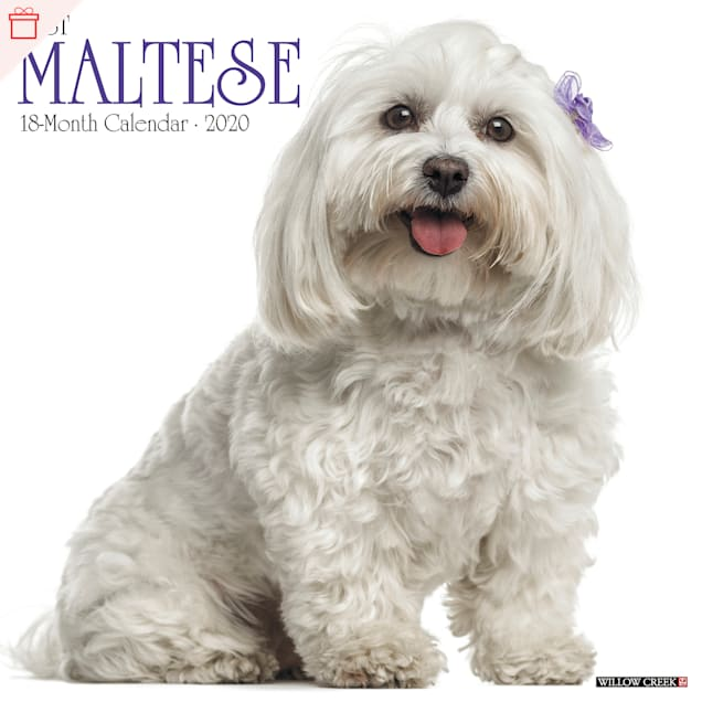 Willow Creek Press Maltese 2020 Wall Calendar - Carousel image #1