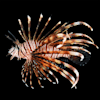 Black Volitan Lionfish - Small - Thumbnail-1