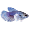 Female Elephant Ear Betta (Betta splendens) - Thumbnail-1