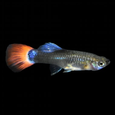 Assorted Fancy Female Guppys For Sale Order Online Petco