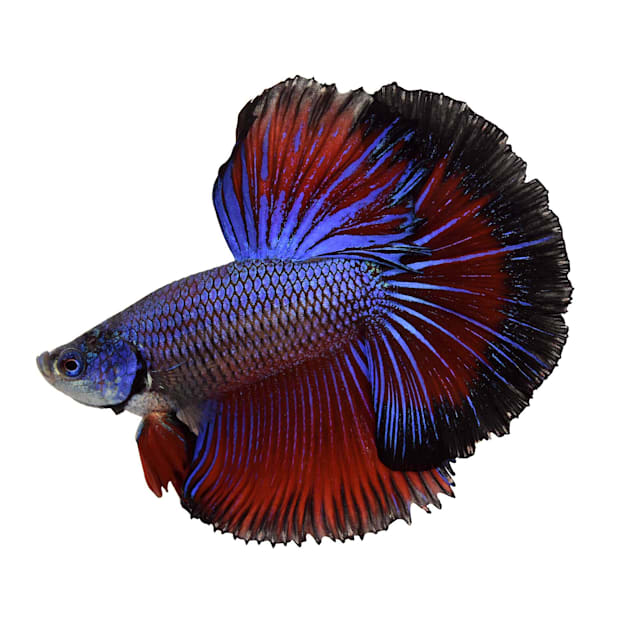 Male Halfmoon Betta - Extra Large (Siamese Fighting Fish) - Carousel image #1