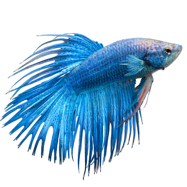 Male Crowntail Betta - Carousel image #1