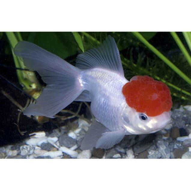 Red Cap Oranda Goldfish (Carassius auratus) - Carousel image #1