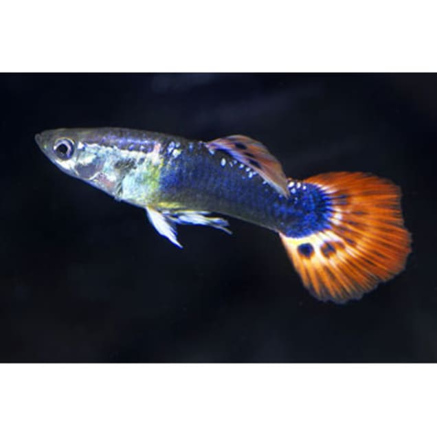 Assorted Fancy Male Guppy (Poecilia reticulata) - Carousel image #1