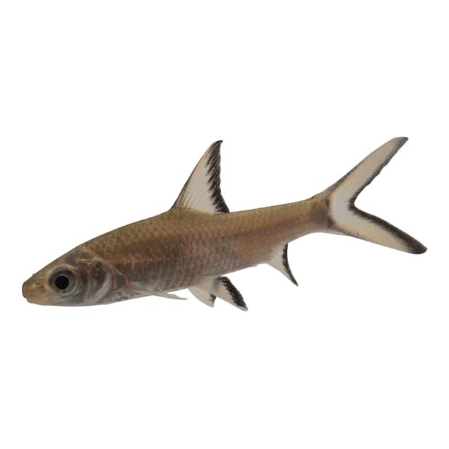 Bala Shark - Carousel image #1