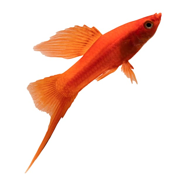 Red Swordtail - Carousel image #1