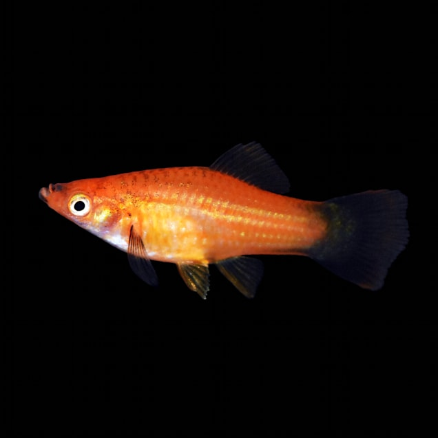 Red Wag Swordtail - Carousel image #1