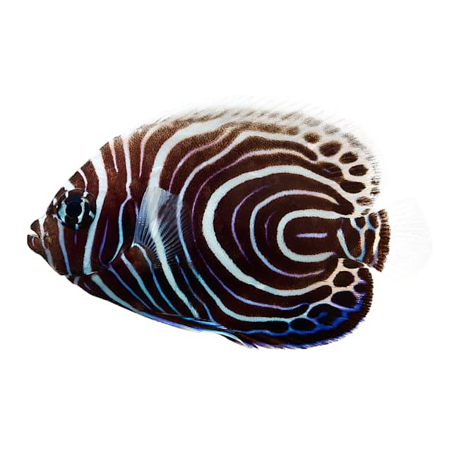 Imperator Angelfish - Juvenile - Large - Carousel image #1