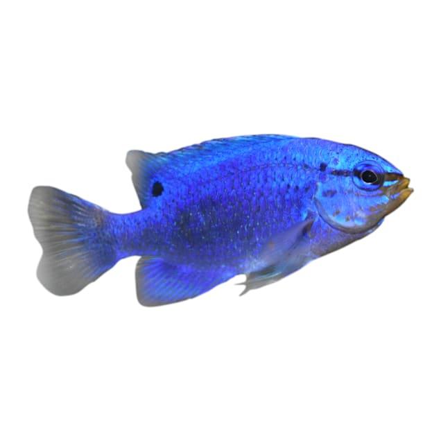 Female Blue Damsel - Carousel image #1