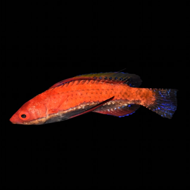 Longfin Fairy Wrasse - Carousel image #1