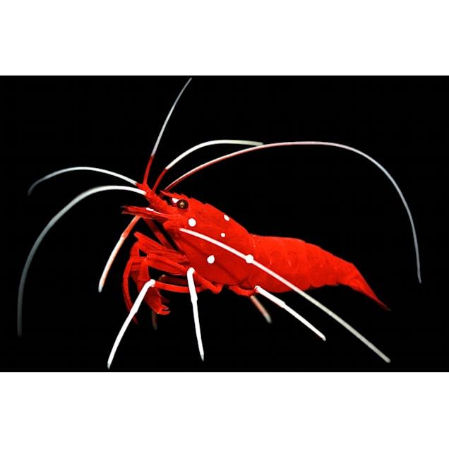 Fire Shrimp - Carousel image #1