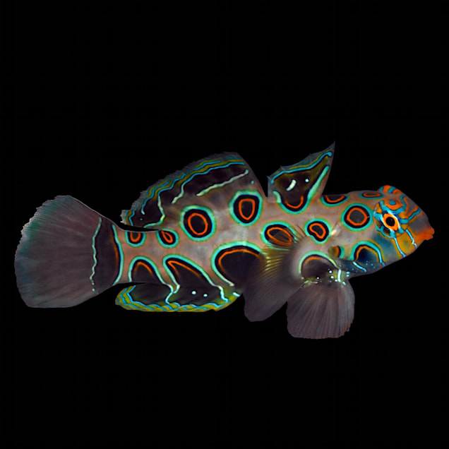 Spotted Mandarin Goby - Small - Carousel image #1