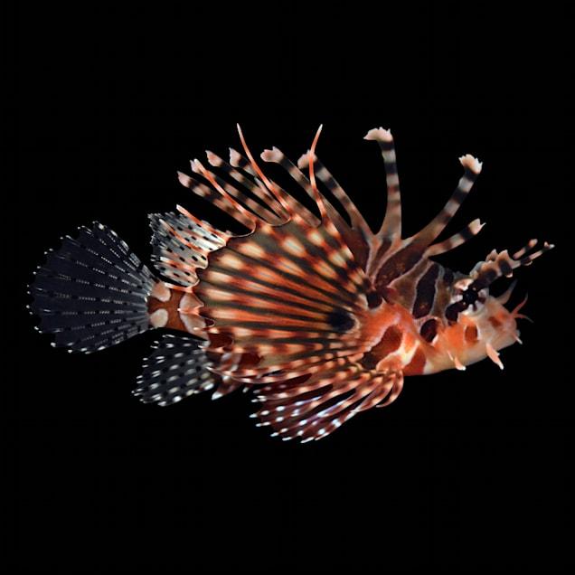 Dwarf Zebra Lionfish - Small - Carousel image #1
