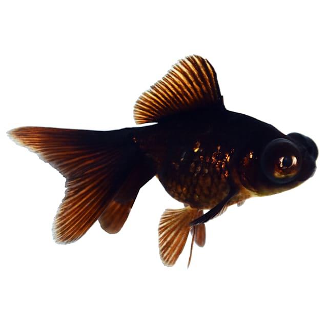 Black Moor Goldfish (Carassius auratus) - Carousel image #1