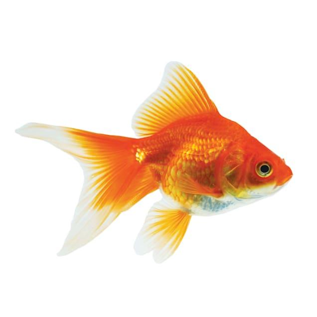 Red & White Ryukin Goldfish (Carassius auratus) - Carousel image #1