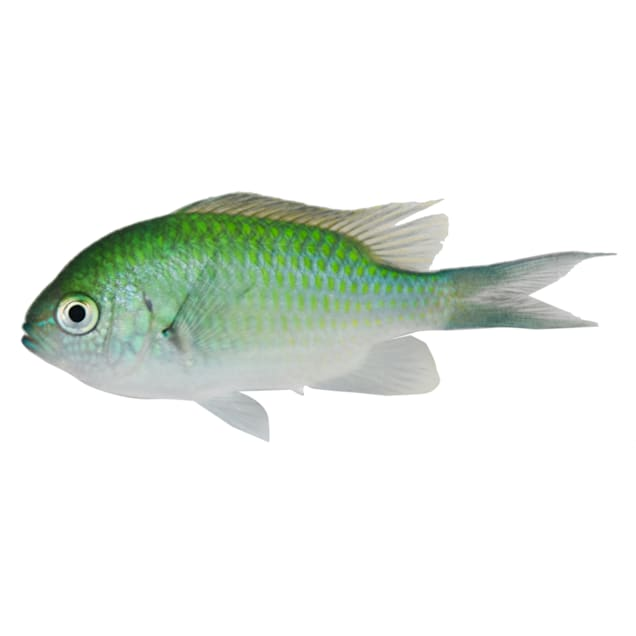 Green Chromis - Small - Carousel image #1