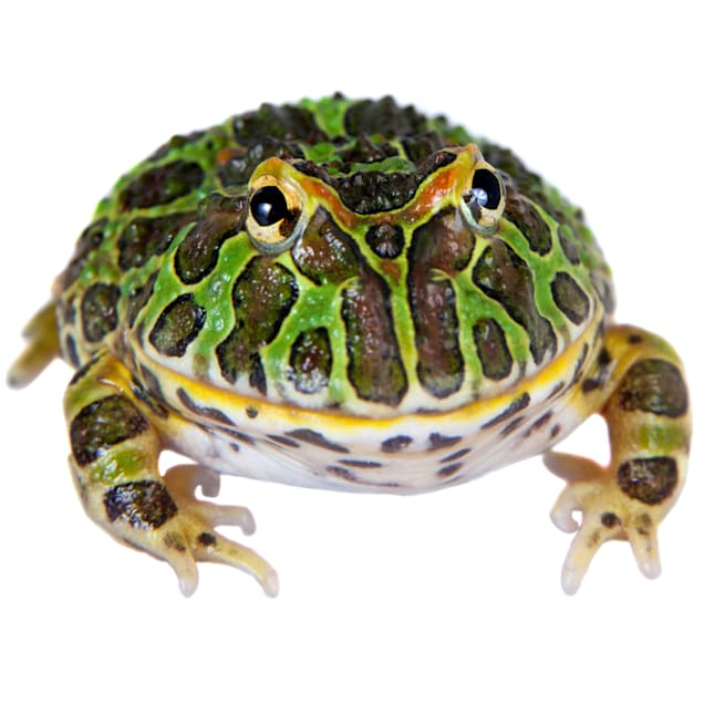 Pacman Frog (Ceratophrys cranwelli) - Carousel image #1