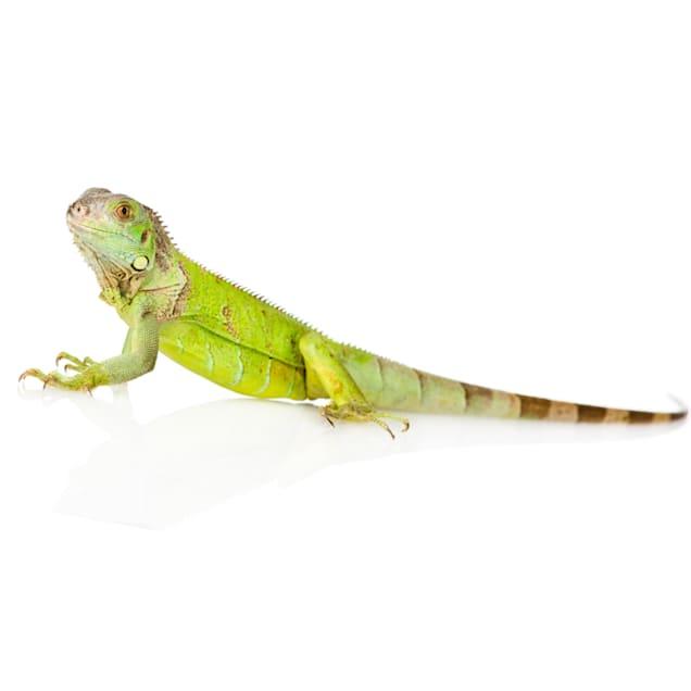 Iguana (Iguana iguana) - Carousel image #1