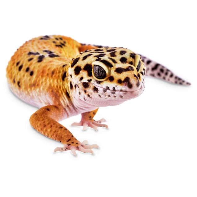 Leopard Gecko (Eublepharis macularius) - Carousel image #1