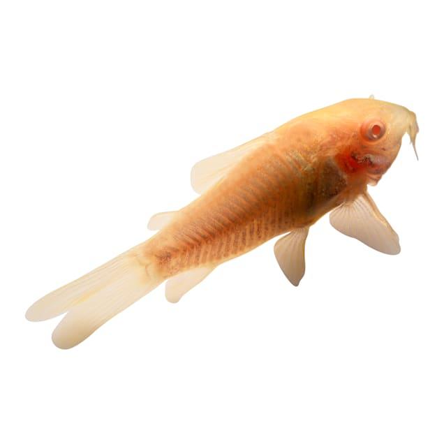 Albino Cory - Carousel image #1