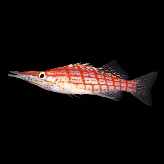 Longnose Hawkfish - Carousel image #1