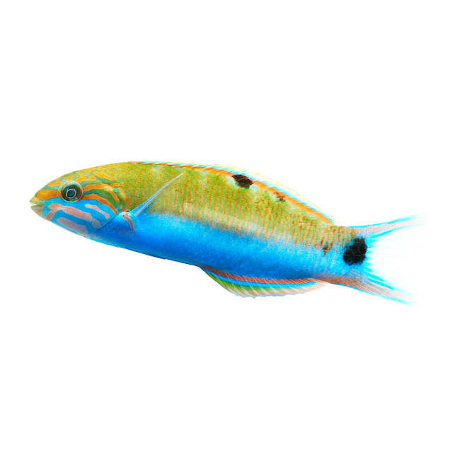 Lunare Wrasse - Small - Carousel image #1