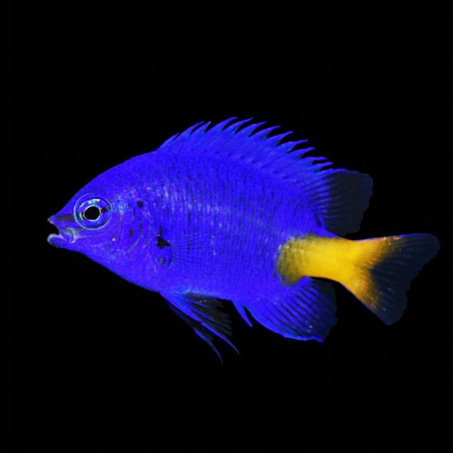Yellowtail Blue Damsel - Carousel image #1
