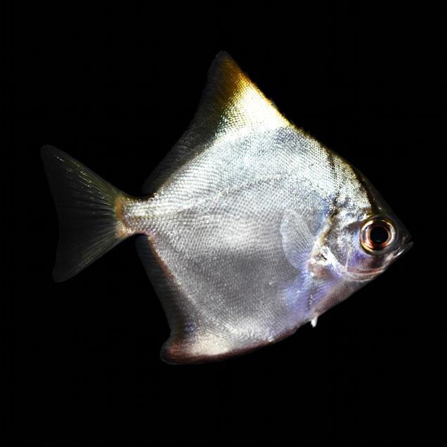 Silver Mono (Monodactylus argenteus) - Carousel image #1