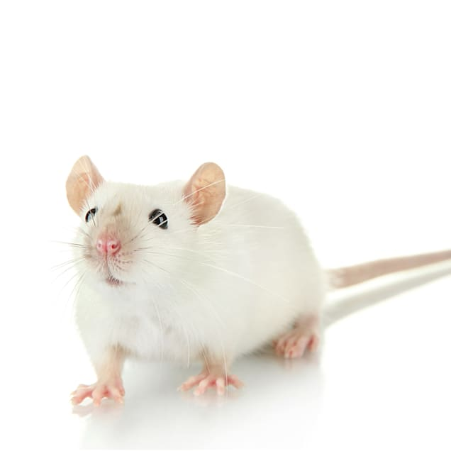 Mouse (Mus musculus) - Carousel image #1