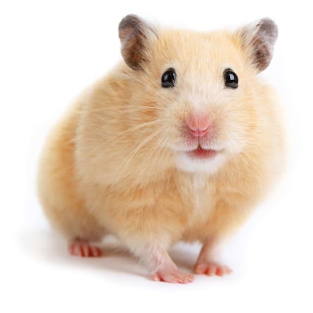 Syrian Hamster (Mesocricetus auratus) - Carousel image #1