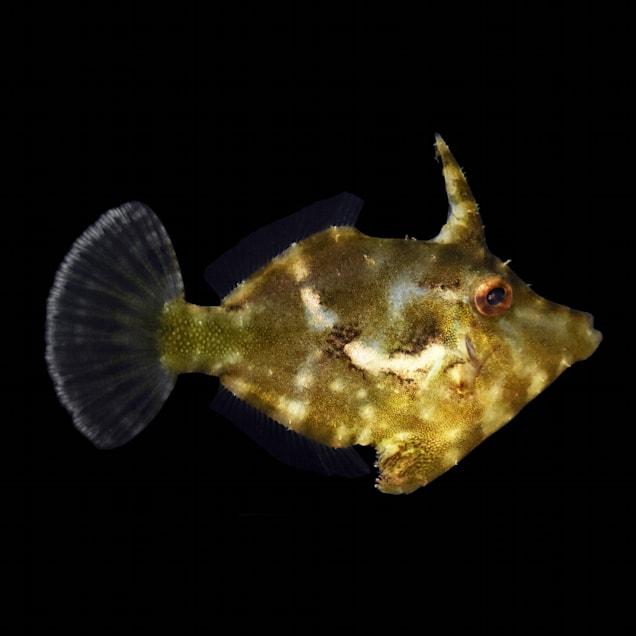 Matted Filefish - Medium - Carousel image #1