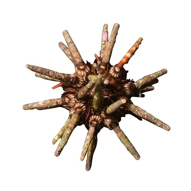 Pencil Urchin - Carousel image #1