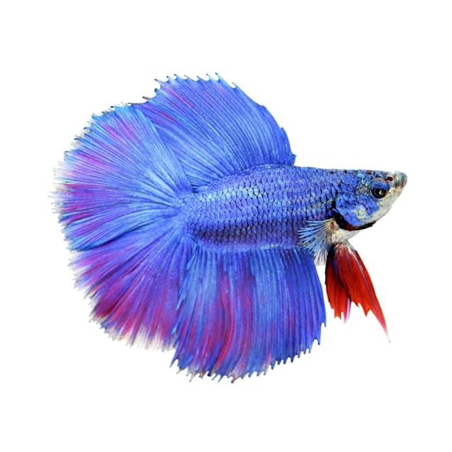 Male Halfmoon Doubletail Betta - Carousel image #1