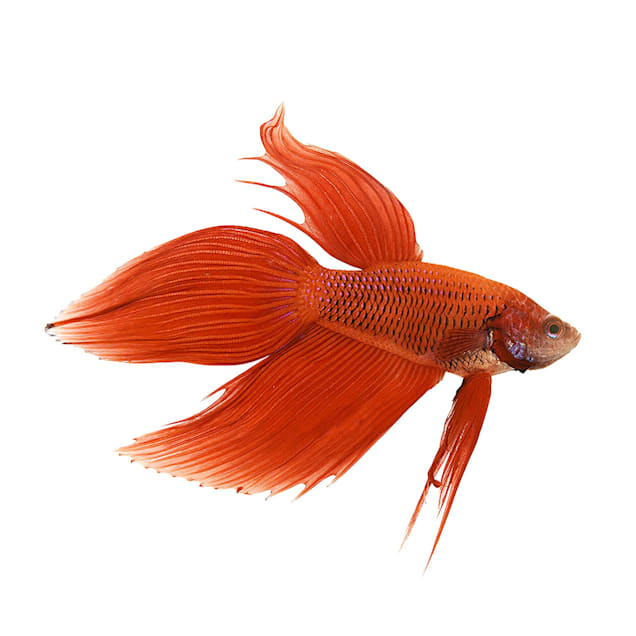 Male Red Veiltail Betta - Carousel image #1