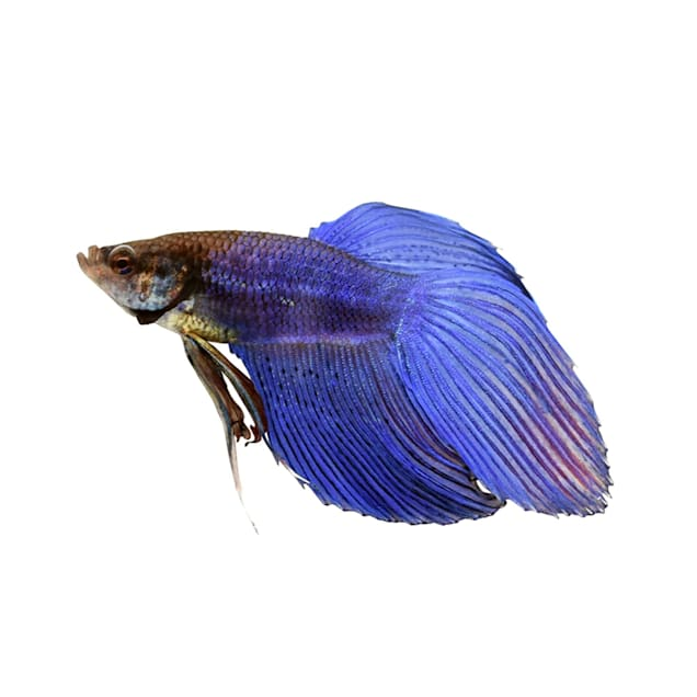 Blue Male Veiltail Betta - Carousel image #1