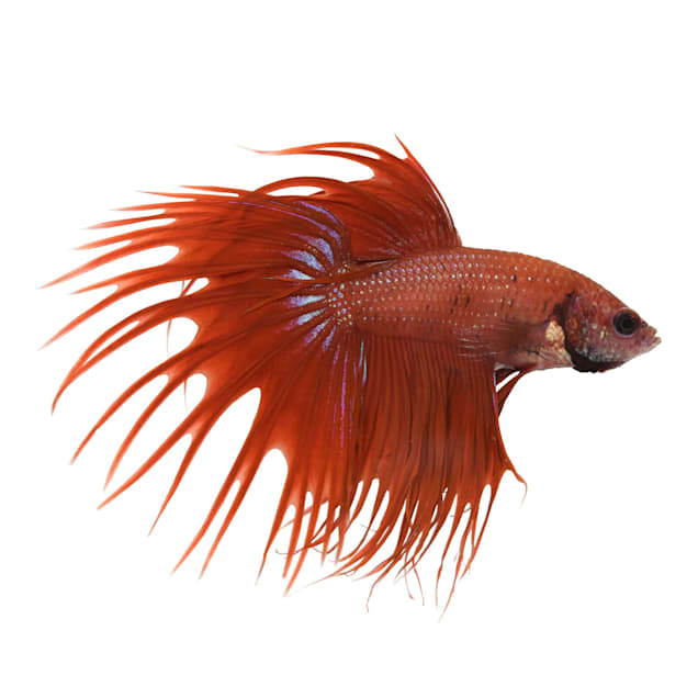 Red Male Crowntail Betta - Carousel image #1