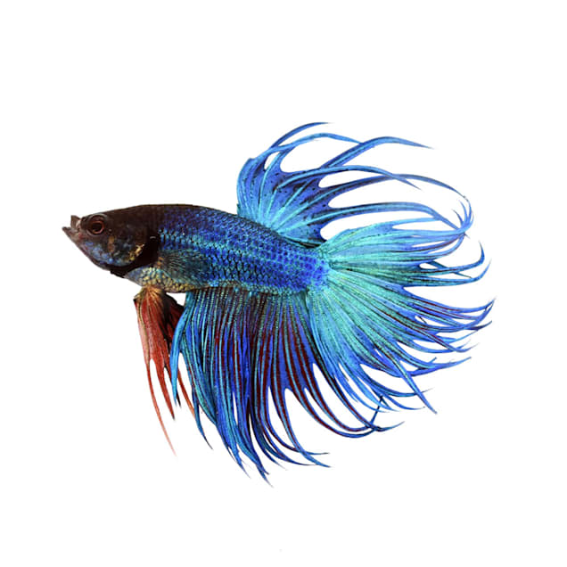Blue Male Crowntail Betta - Carousel image #1