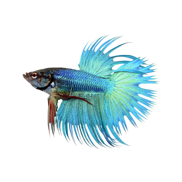 Male Green Crowntail Betta - Carousel image #1