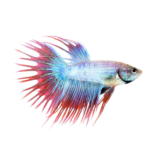 Cambodian Male Crowntail Betta - Carousel image #1