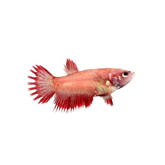 Red Female Crowntail Betta - Carousel image #1