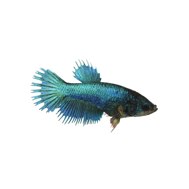 Blue Female Crowntail Betta - Carousel image #1