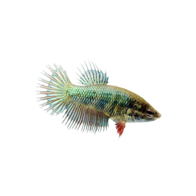 Green Female Crowntail Betta - Carousel image #1