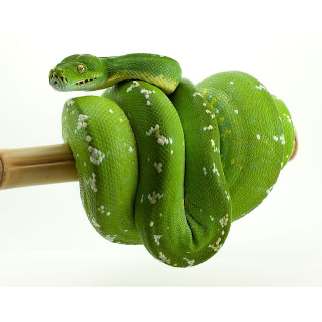 Green Tree Python (Morelia viridis) - Carousel image #1