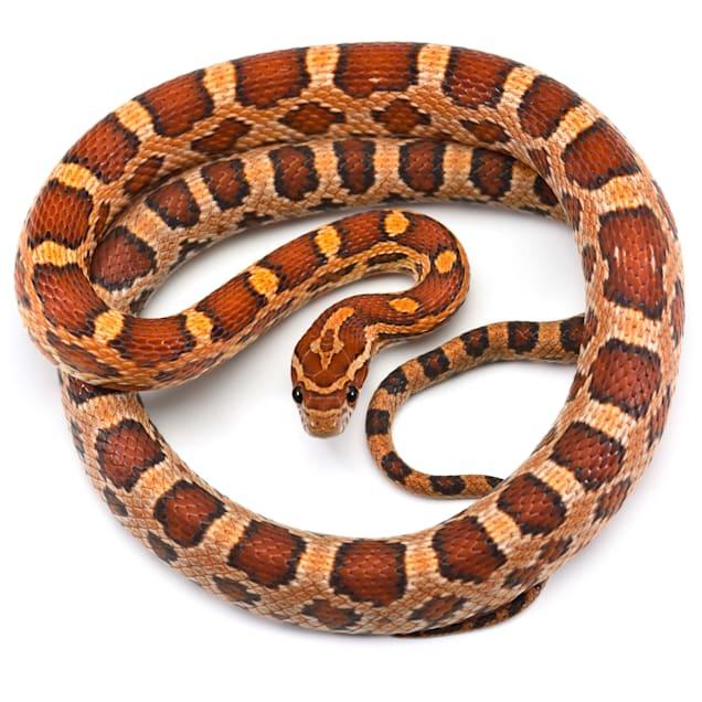 Corn Snake (Elaphe guttata guttata) - Carousel image #1