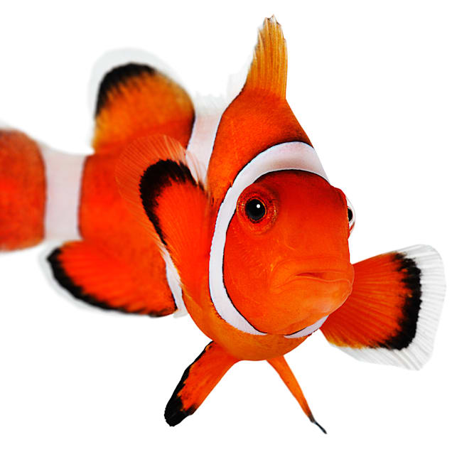 Ocellaris Clownfish (Amphiprion ocellaris) - Aquacultured - Carousel image #1